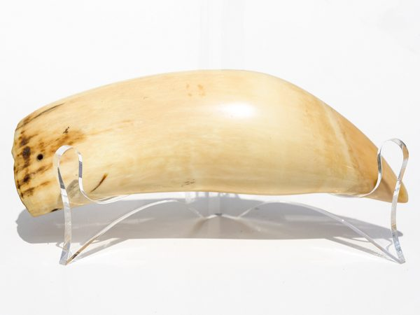 Polished Raw Whale's Tooth - Scrimshaw Collector