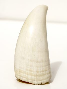 Raw Sperm Whale's Tooth 401g - Scrimshaw Collector