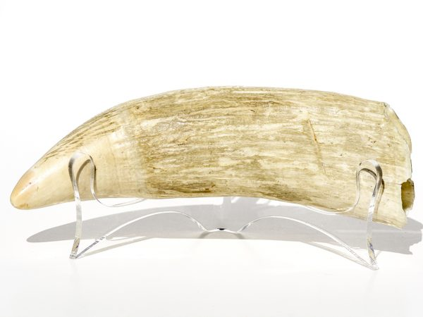 'One Pound Whale's Tooth' - 457 grams - Scrimshaw Collector