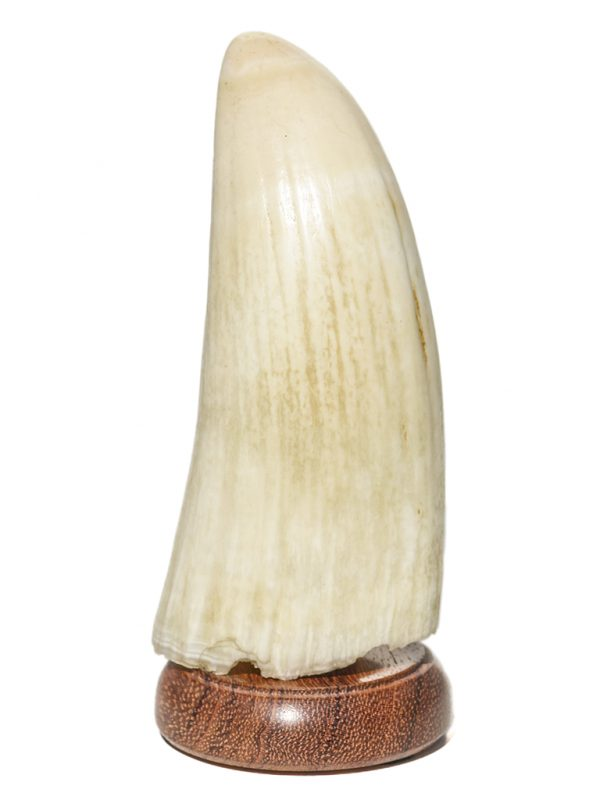 'Sperm Whale's Tooth Raw' - 171 grams - Scrimshaw Collector