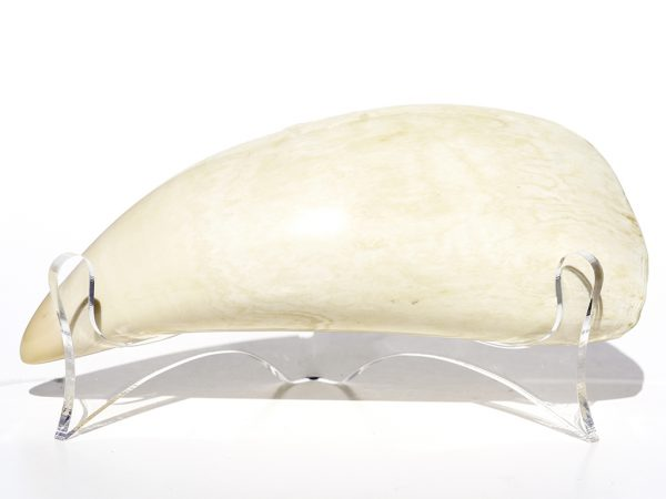 'Pound Whale's Tooth Polished' - 485 grams - Scrimshaw Collector