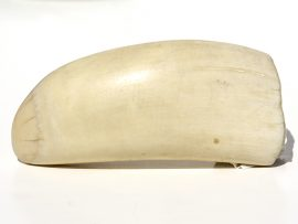 Raw Whale's Tooth Polished - 168 grams