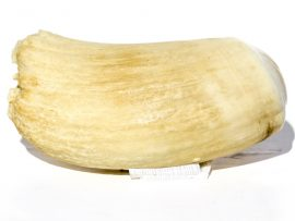 Raw Whale's Tooth Unpolished - 188 grams