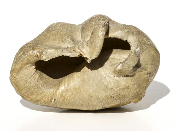 Unknown Origin - Fossil Whale Eardrum