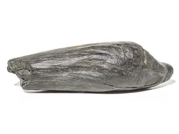 Fossil Whale's Tooth - Rare