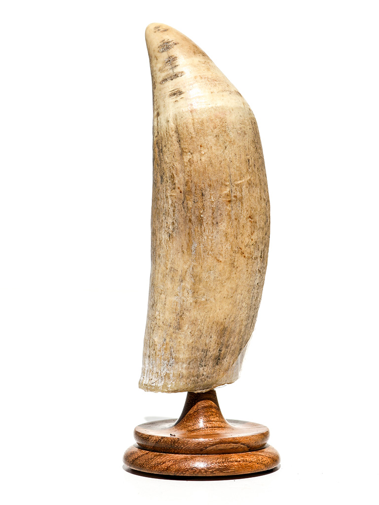 Raw Whale's Tooth Ivory