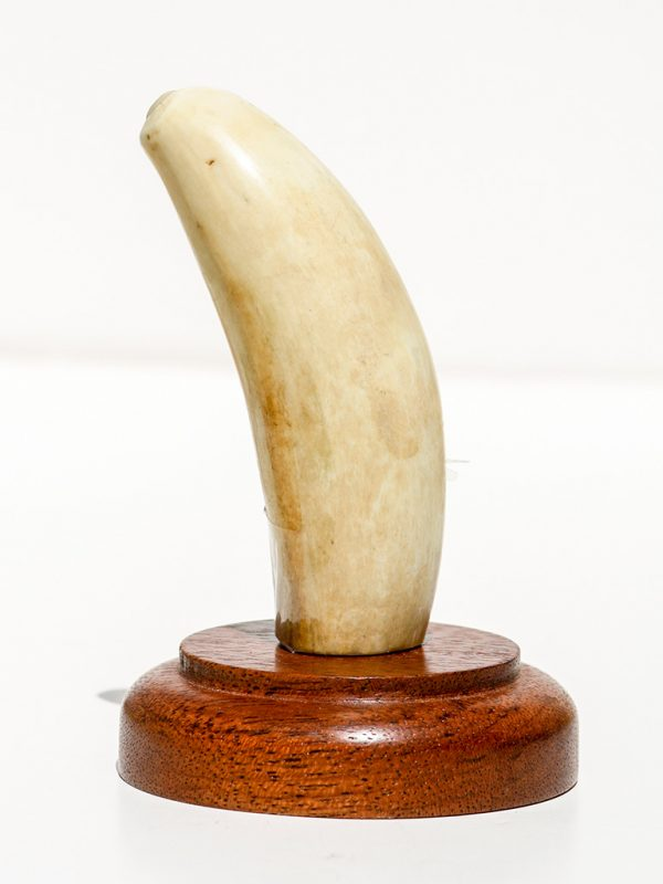 Raw Whale's Tooth Ivory - Scrimshaw Collector