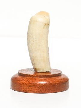 Fossil Walrus Tusk Raw Ivory - Scrimshaw Collector