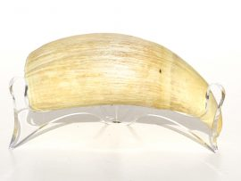 Raw Whale's Tooth for Scrimshaw - Scrimshaw Collector