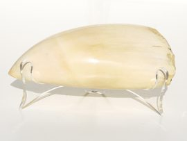 Raw Whale's Tooth Polished - Scrimshaw Collector